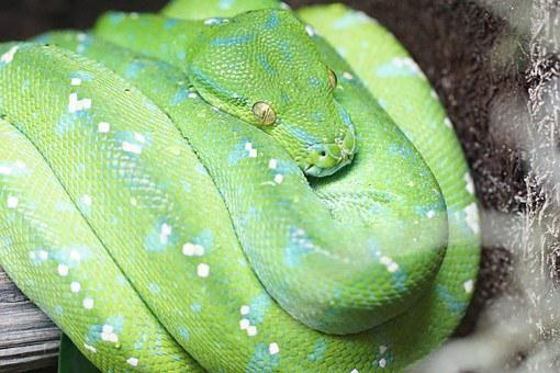 Green Tree Python, Snake, Reptile, Non Toxic, Zoo
