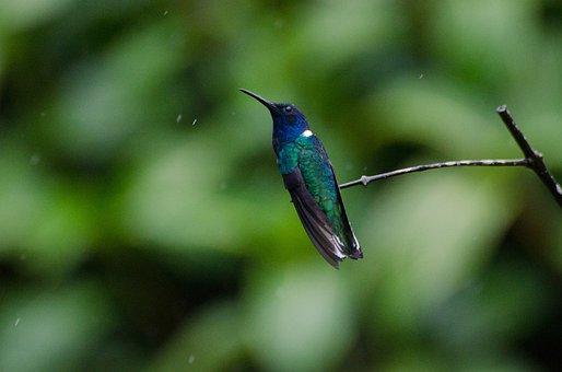 Hummingbird, Jacobin, Bird, Wildlife, Natural, Avian