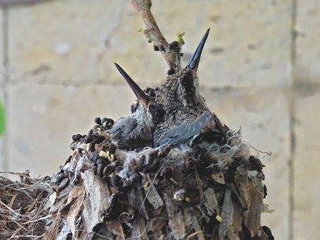 Hummingbird, Birds, Nest, Bill, Small, Fly, Brown
