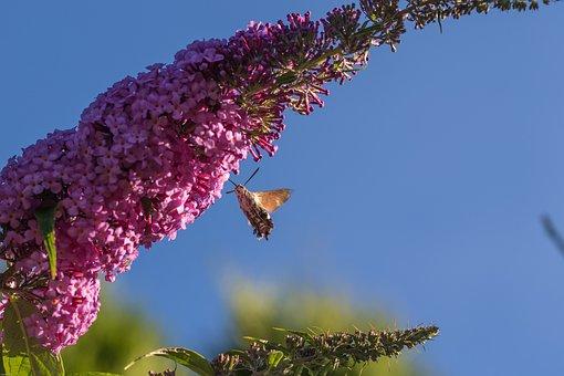 Hummingbird Hawk Moth, Insect, Flower, Blossom, Bloom