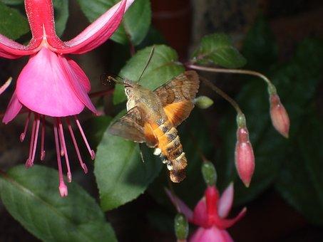 Hummingbird, Hawk-moth, Fuchsia