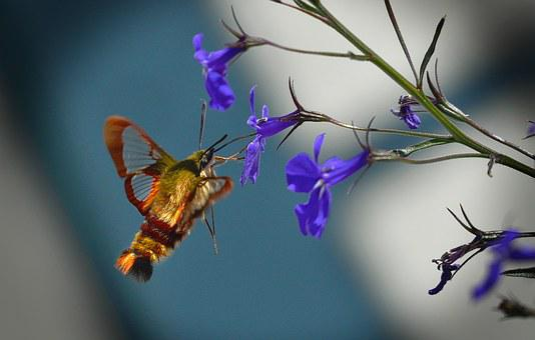 Butterfly, Hummingbird Sphinx Moth, Flowers, On Site