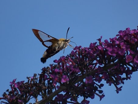 Hummingbird Hawk Moth, Butterfly, Insect, Flying