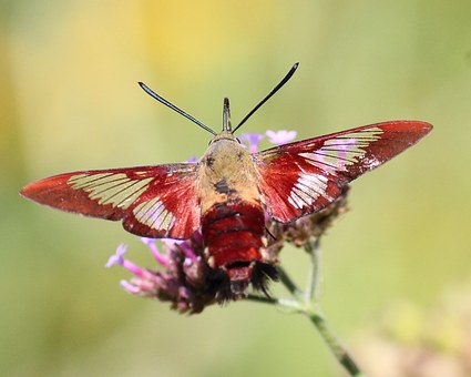 Hummingbird Clearwing Moth, Insect, Clearwing, Nature