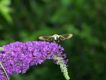 Hummingbird, Moth, Insect, Wings, Nectar, Pollen