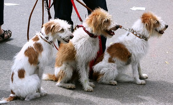 Dogs, Canines, Pets, Leash, Leashed, Led, Dog-walker