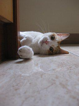 Cat, Lying, Cute, Gaze, Animal