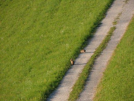 Meadow, Hare, Wild Live, Fauna, Away