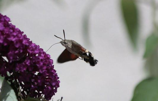Hummingbird Hawk Moth, Butterfly, Fly, Moth, Summer