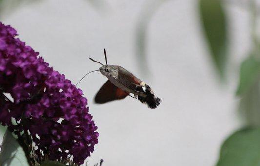 Hummingbird Hawk Moth, Butterfly, Flying, Moth, Summer