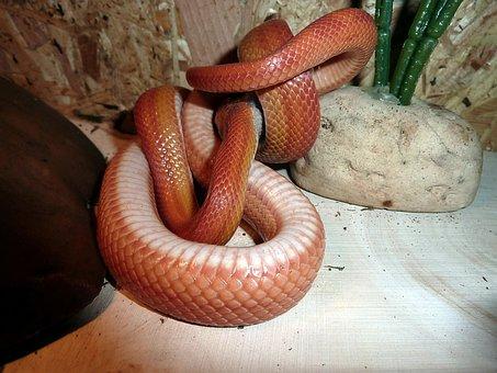 Corn Snake, Snakes, Terraristik, Non Toxic, Scale