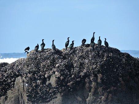 Cormorants, Pelagic Cormorants, Pelagic, Sea, Ocean