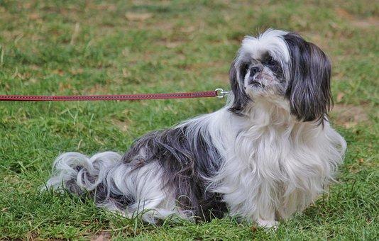 Pekinese, Pet, Dog, Animal, Fur, Leash, On Leash
