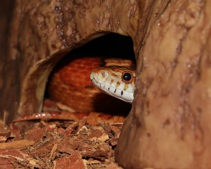 Corn Snake, Snake, Pantherophis Guttatus, Terraristik