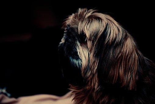 Shih Cricket, Dog, Brown, Shih Tzu, Animal, Cute, Pets