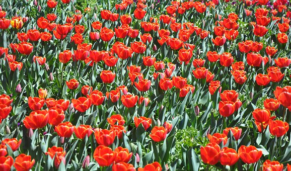 Flower, Tulip, Red, Fields, Floral, Blossom, Plant