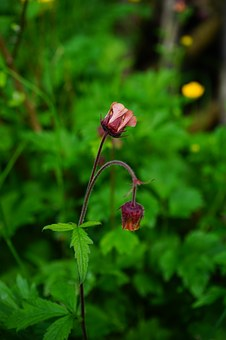 Avens, Blossom, Bloom, Red, Violet, Purple