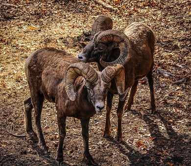Bighorn Sheep, Ovis Canadenis, Rocky Mountain Sheep