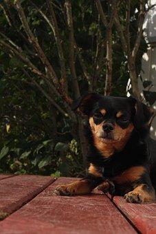 Dog, Small Dog, Chihuahua, Chihuahua Cross