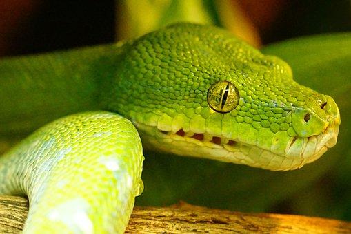 Green Tree Python, Snake, Non Toxic, Snakehead