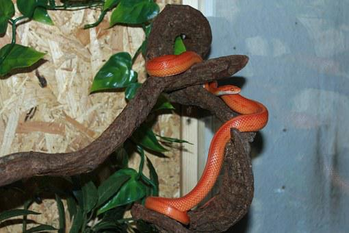 Corn Snake, Snake, Terraristik, Non Toxic, Scale