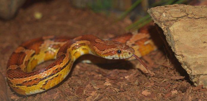 Snake, Natter, Corn Snake, Reptile, Scale, Terraristik