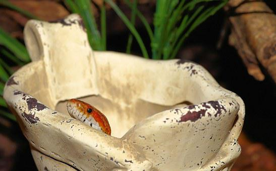 Snake, Corn Snake, Stone Shoe, Terrarium, Reptile