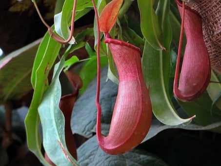 Nepenthe, Epiphyte, Carnivorous Plant, Urn, Tunicate