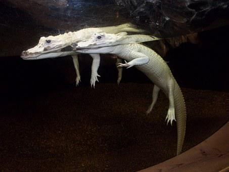 Alligator, Aquarium, Albino, Carnivore, Wildlife