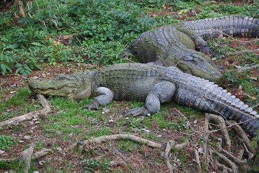 Alligators, Alligator, Crocodile, Crocodiles, Reptile