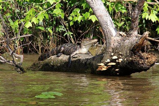 Alligator, Swamp, Bayou, Animal, Crocodile, Louisiana