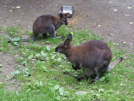 Wallaby, Mother, Nature, Australian, Animal, Joey