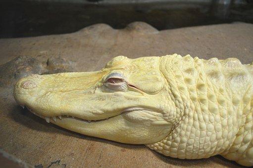 Alligator, Albino, Zoo, White, Reptile, Animal, Nature