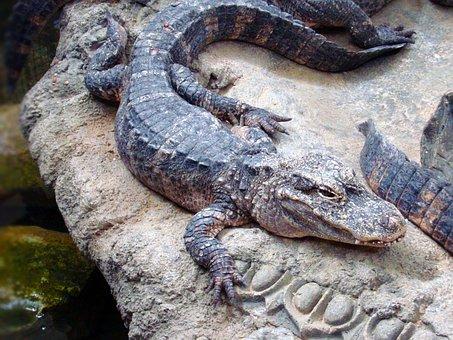 Alligator, Animal, Reptile, Zoo, Crocodilia