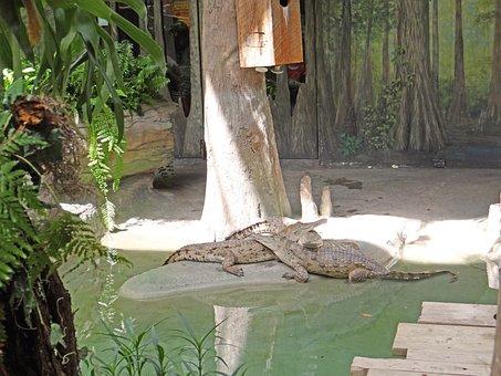 South American Alligators, Animals, Zoo, Nature