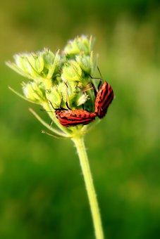 Black, Bugs, Close-up, Copulation, Graphosoma, Lineatum