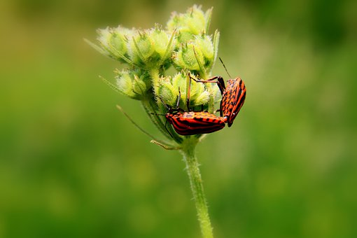 Black, Bugs, Close-up, Copulation, Graphosoma, Lineatum