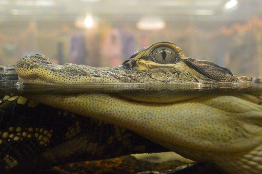 Alligator, Crocodile, Baby, Gator, Aquarium, Little
