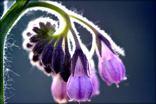 Comfrey, Flower, Spring, Violet, Purple