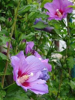 Hibiscus, Hedge, Flowers, Summer, Garden