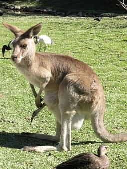 Kangaroo, Australia, Marsupial, Brown, Australian