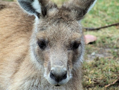 Kangaroo, Eastern Grey, Animal, Marsupial, Australian