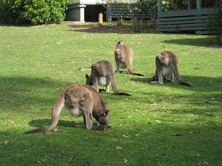 Kangaroos, Australian, Native, Wildlife, Marsupial, Hop