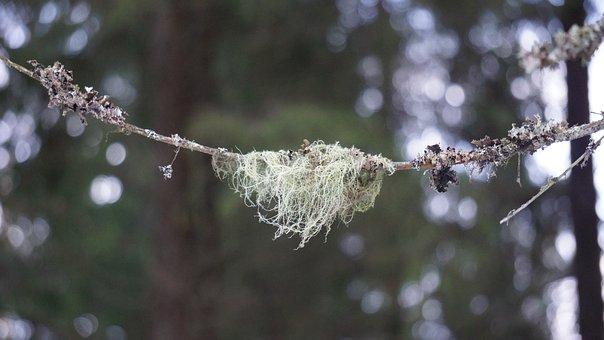 Lichen, Usnea, Medicinal Plant, Mushroom