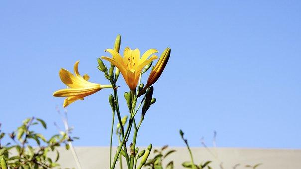 Lily, Flowers, Sky