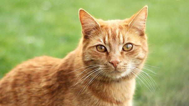 Cat, Redheaded, Tomcat, Mammal, Head, Animal