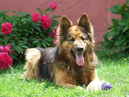 Dog, German Shepherd, Garden, Grass, Rose, Peony
