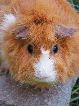 Guinea-pig, Rosette, Female, Redheaded, Head, Portrait