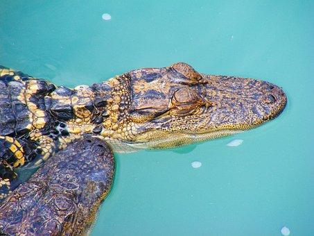Alligator, Reptile, Swamp, Bayou, Wildlife, River
