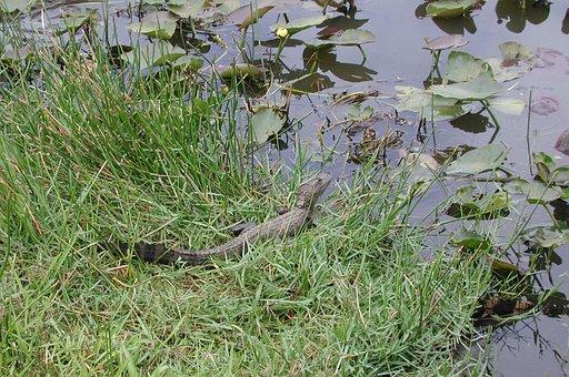 Florida, Alligator, Swamp, Reptile, Gator, Water